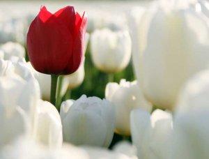 Selbstakzeptanz rote Tulpe in weißen Tulpen