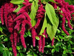 Amaranth Superfood Pflanze