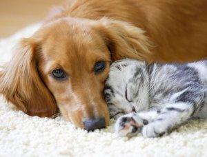 Dackel und Katze