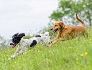 Hunde auf Wiese
