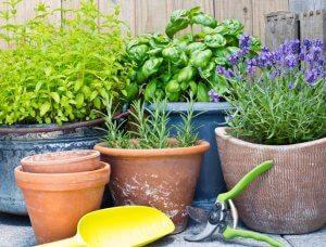 Kräuter Pflanzen Töpfe