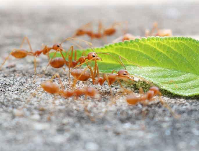 Ameisen mit Blatt