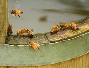 Bienen am Wassereimer