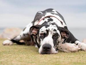 Dogge die auf dem Boden liegt