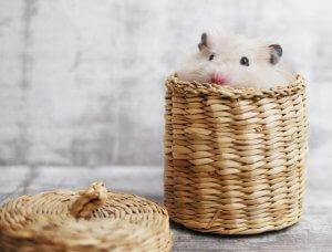 Hamster in Stroh-Box