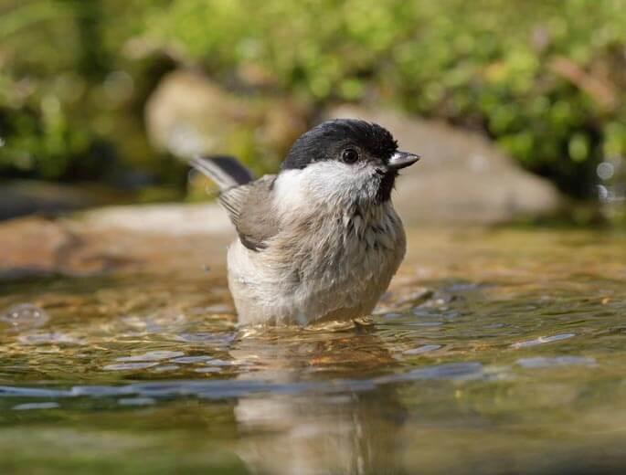 Meise in Wasser