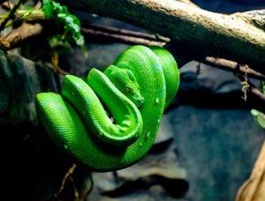 Grüne Schlange auf Ast