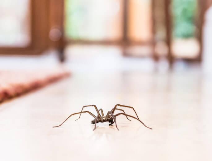 Spinne in Wohnung